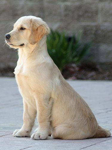 Golden Retriever Puppy sitting proud