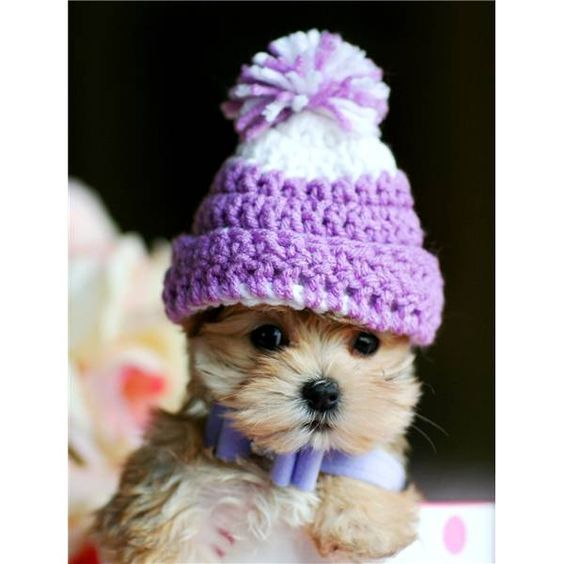 Teacup Morkie puppy > sweet baby!  How cute is this little guy, a Maltese & Yorkie mix, in a purple and white knitted cap!