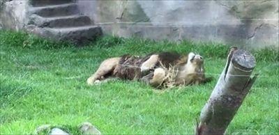 まるで大きなネコ! ワラ玉をもらってリラックスしたライオンに百獣の王の威厳が見当たらない