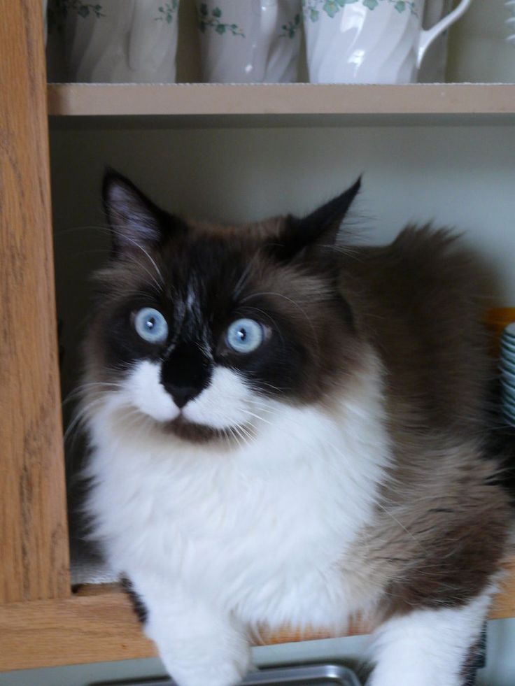 Ragdoll Cat Price