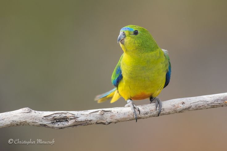 Orange Bellied Parrot-Neophema chrysogaster