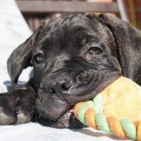 #dogalize Cura del cane corso: prevenzione e alimentazione #dogs #cats #pets