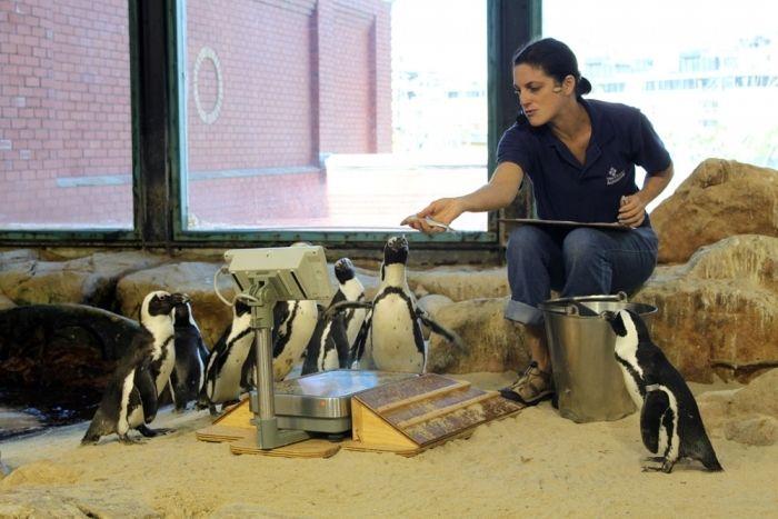 Staff feeding penguins