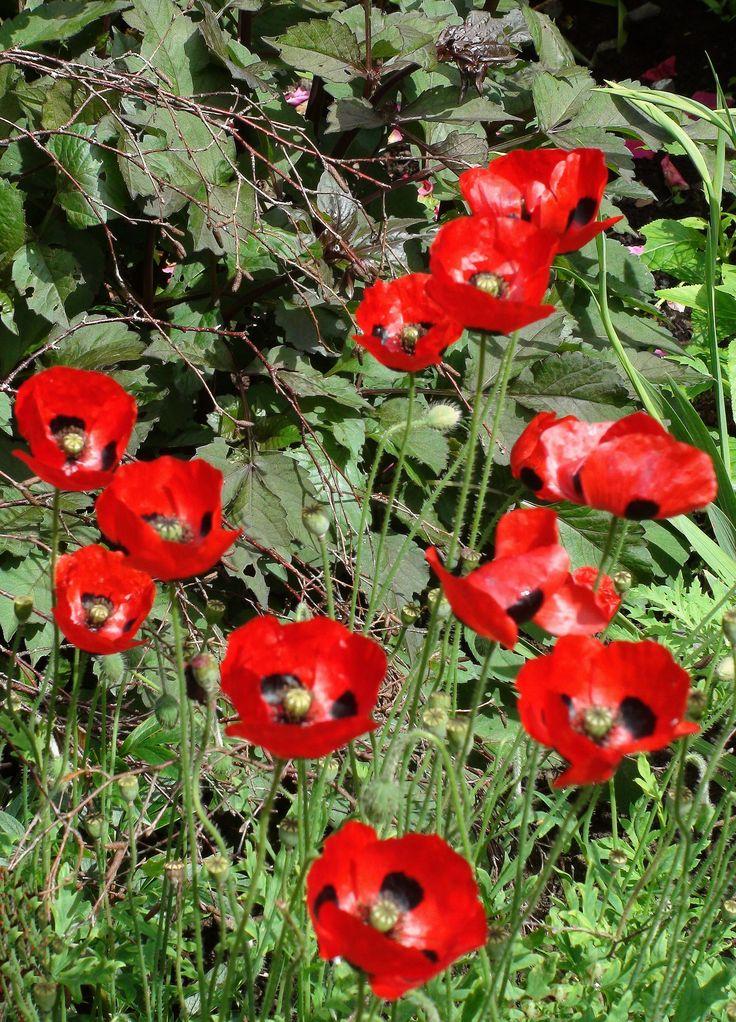 Ladybird Poppies at Bryngwyn Gardens
