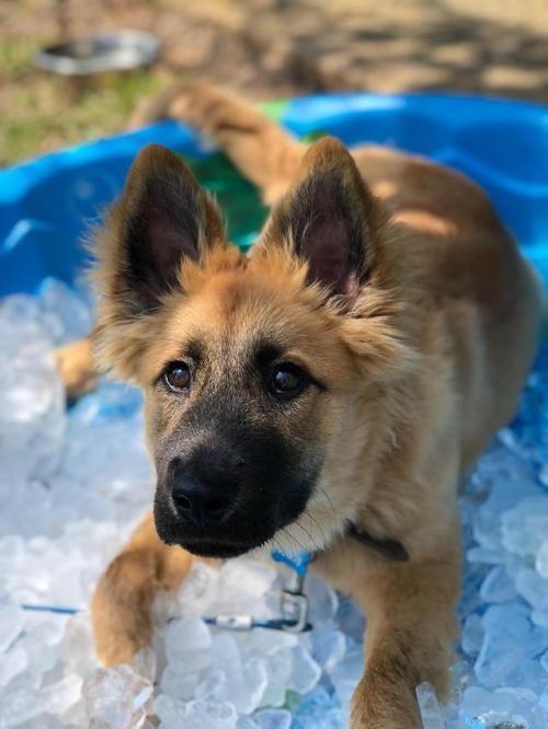 (# Welpe, # Hund, # Welpen, # süß, # Tiere, # bezaubernd)   – DOGS 2