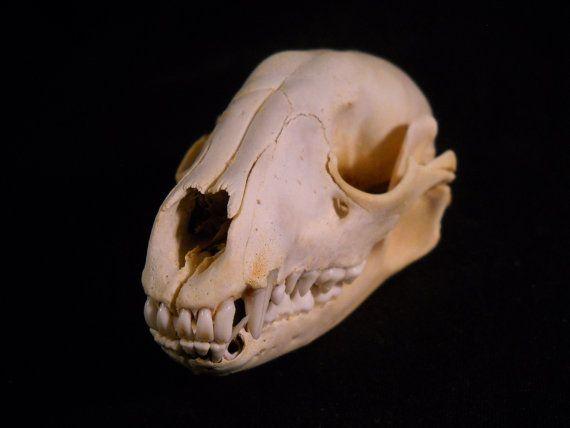 Raccoon Skull Real Bone Animal Taxidermy Bones by EvasFeathers, $19.95