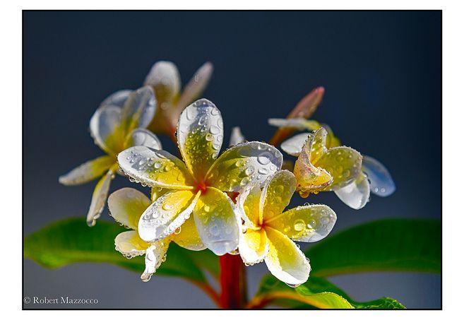 Frangipani Yellow   Flickr - Photo Sharing!