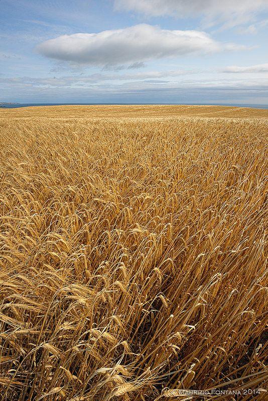 Campo de trigo na Escócia.  Fotografia: Maurizio Fontana no Flickr.