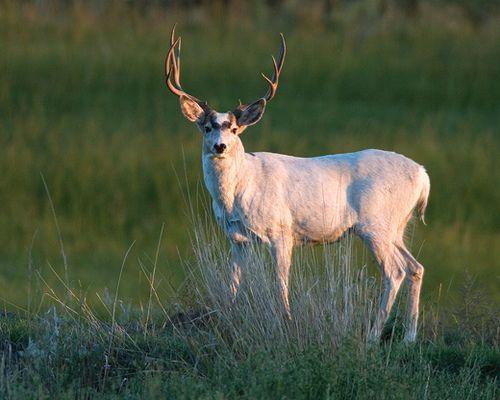 photos of white bucks   White Mule Deer Buck