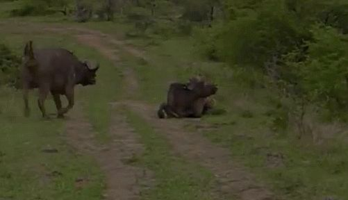 An angry African buffalo protects his friend from a lioness.