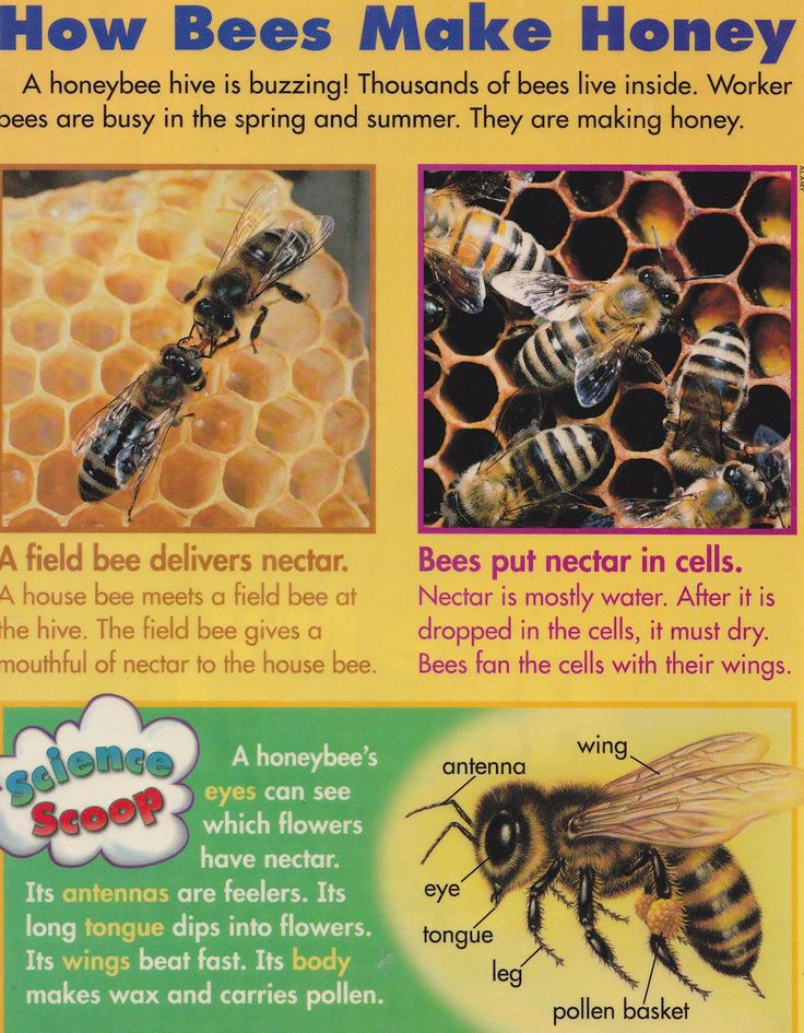 how honey bees do their job Worker bees occur in many bee species other than honey bees, but this is by far the most familiar colloquial use of the term workers gather pollen into the pollen baskets on their back legs, to carry back to the hive where it is used as food for the developing brood.