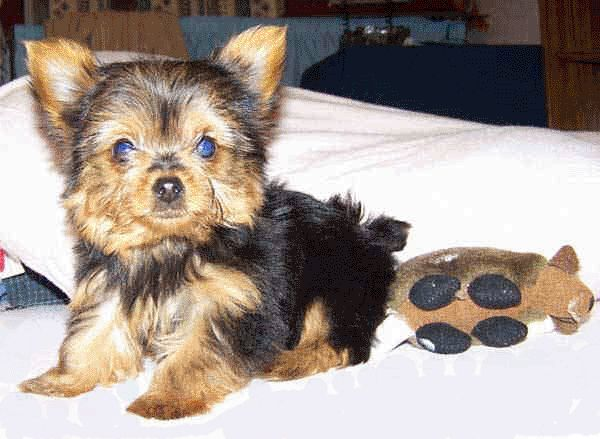 Small Dogs For Sale In Central Illinois