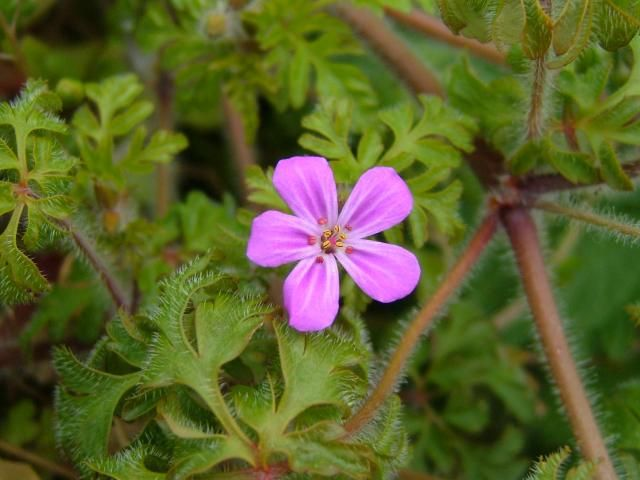 16 best pink flowers 5 petals images on pinterest pink flowers aphotoflora photographic stock image library page for geranium robertianum herb robert geraniaceae images find this pin and more on pink flowers 5 mightylinksfo