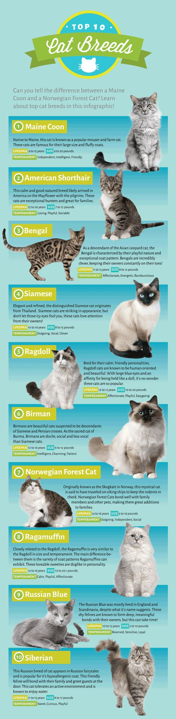 The top 10 cat breeds as voted by EntirelyPets fans and interesting facts about them - infographic.