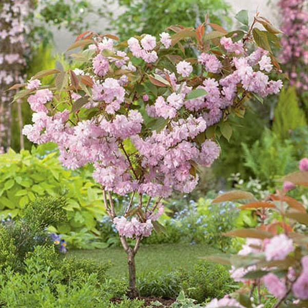 5ft Kanzan Cherry Blossom Tree 9l Pot 2 Years Old 89 99 Blossom Trees Cherry Blossom Tree Types Of Soil