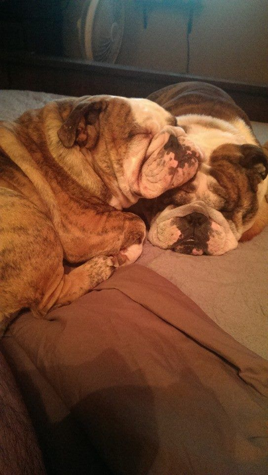 Cuddling Bulldogs • via bulldog pics on fb