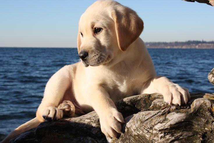 Lab puppy...