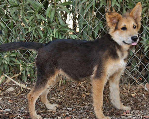 German Shepherd Border Collie Mix All About The Shollie Border