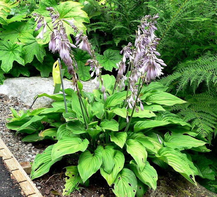 The Hosta Guide Hostas, also known as Plantain Lilies, are one of the most popular  landscaping plants. Grown all around the globe, Hostas are hardy plants ... - 18 Best Japanese Garden Images On Pinterest Japanese Gardens