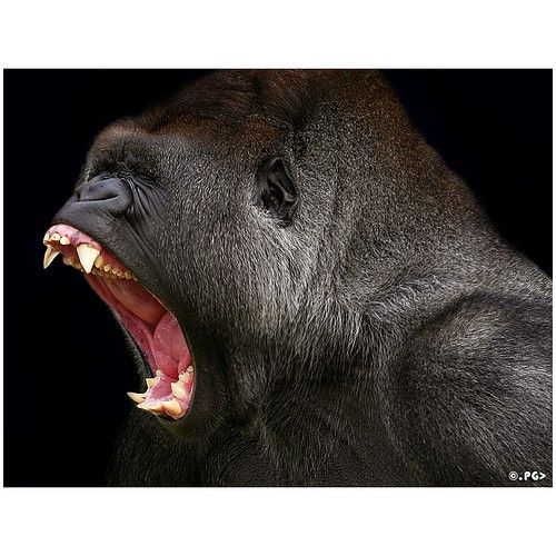 Gorila,..... angry gorilla | Great pictures | Pinterest ... - photo#31