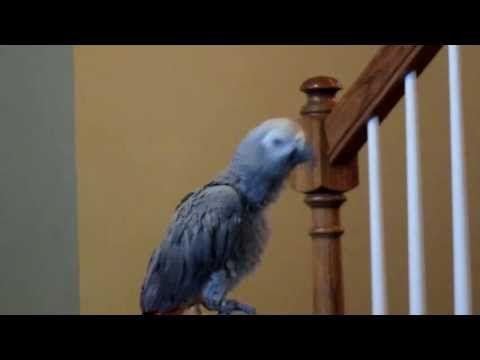 African Grey Is One Sweet Talking  Bird - http://www.parrotshop.org/african-grey-is-one-sweet-talking-bird/