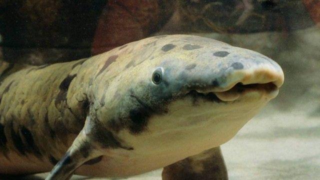N último domingo, dia 5, os funcionários do Aquário Shedd, em Chicago, nos EUA, decidiram pela eutanásia de Granddad, um peixe pulmonado australiano que vivia em cativeiro desde 1933. Granddad foi o peixe que viveu por mais tempo em qualquer aquário ou zoológico do mundo.