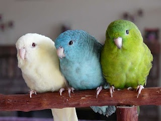 LOVE the solid blue budgie <3
