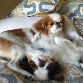 Also hüpfe ins Bett. | 29 Bilder, die beweisen, dass japanische Kinnhunde die süßesten …