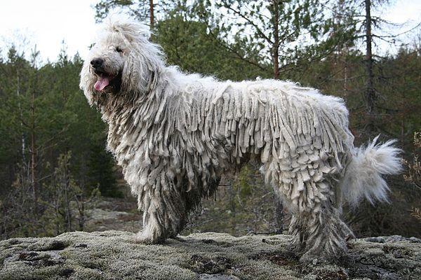 Neznámá psí plemena: Pankáč, co za vás položí i život? Komondor!