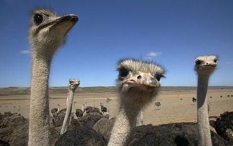 One of the regions greatest attractions - the ostrich!