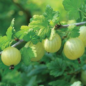 recipe: american gooseberry mildew treatment [19]
