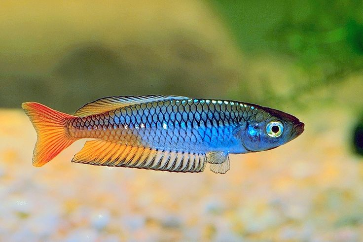 17 best images about future fish tank on pinterest for Tropical rainbow fish