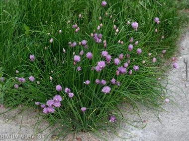 Czosnek szczypiorek = Szczypiorek - Zioła - Baza roślin - rosliny.urzadzamy.pl