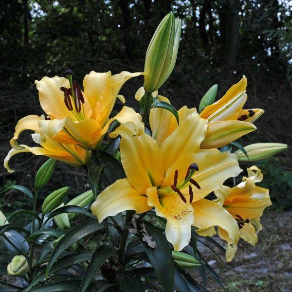 Lilie 'Corcovado' - oh how lovely - in sonnigem gelb bringt sie Farbe in den sommerlichen Garten - Pflanzzeit für die Blumenzwiebeln ist im Winter - online erhältlich bei www.fluwel.de