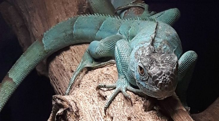 iguane bleu - spaycific'zoo