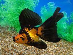 Calico Veiltail Goldfish | 135 nice veiltail {tae}
