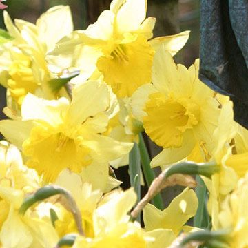 79 best yellow n gold flowers and plants images on pinterest best yellow flowers daffodil be sure to start spring off to a cheery start with golden mightylinksfo