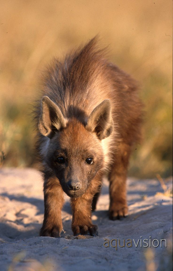 Brown hyena cub