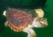 loggerhead turtle escaping net equipped with turtle excluder device
