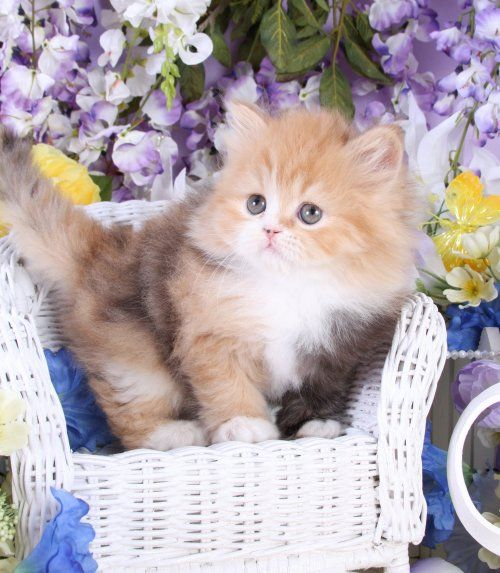 Calico persian kitten | cats | Pinterest | Persian ...