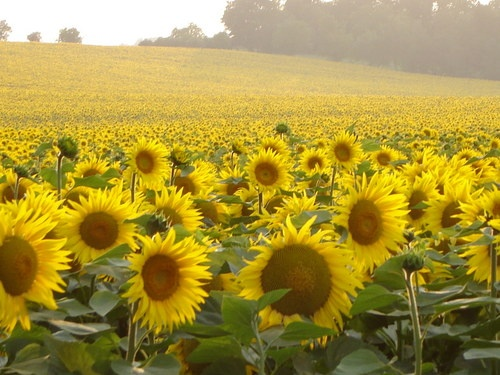 Sunflowers- Auch, Gers, France