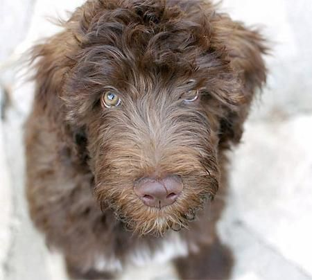 Sketch the Whoodle (Wheaten Terrier poodle mix)