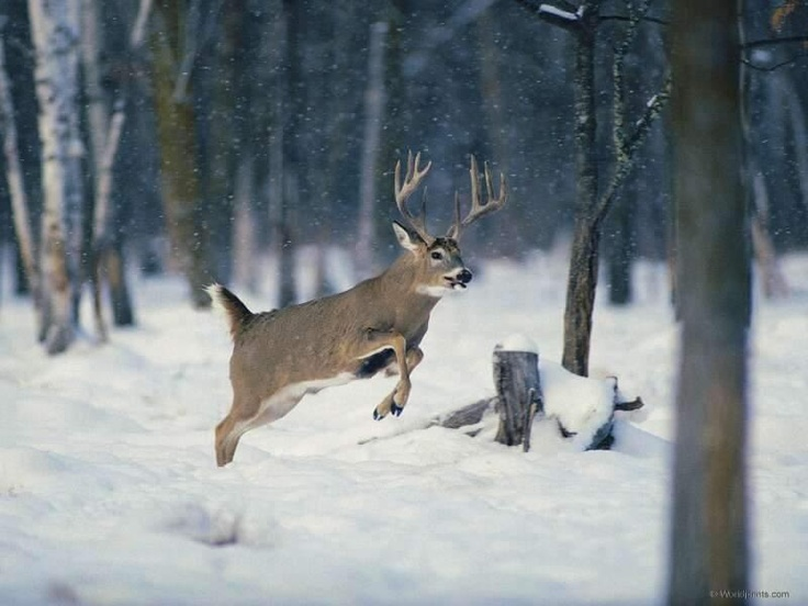Whitetail Buck jumping in the snow http://waterandwoods ...