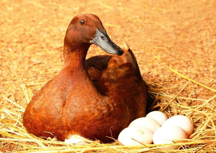 Ducks Produce Tastier and More Nutritious Eggs | Raising Ducks for Your Homestead | Homesteading For Beginners