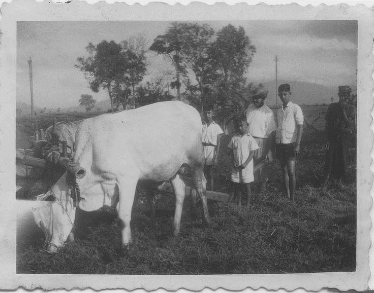 2 Kesilir circa 1937 met zijn zoons poserend met de karbouw en de Javaanse hulp