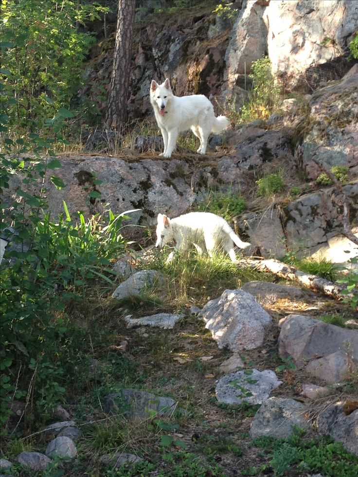 Sona and Wilma at our backyard #whiteshepherd #puppies #naantali #finland