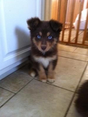 I WANT THIS PUPPY!!!!!! Aussie/Husky Mix, Littlerock, CA   ...........click here to find out more     http://googydog.com