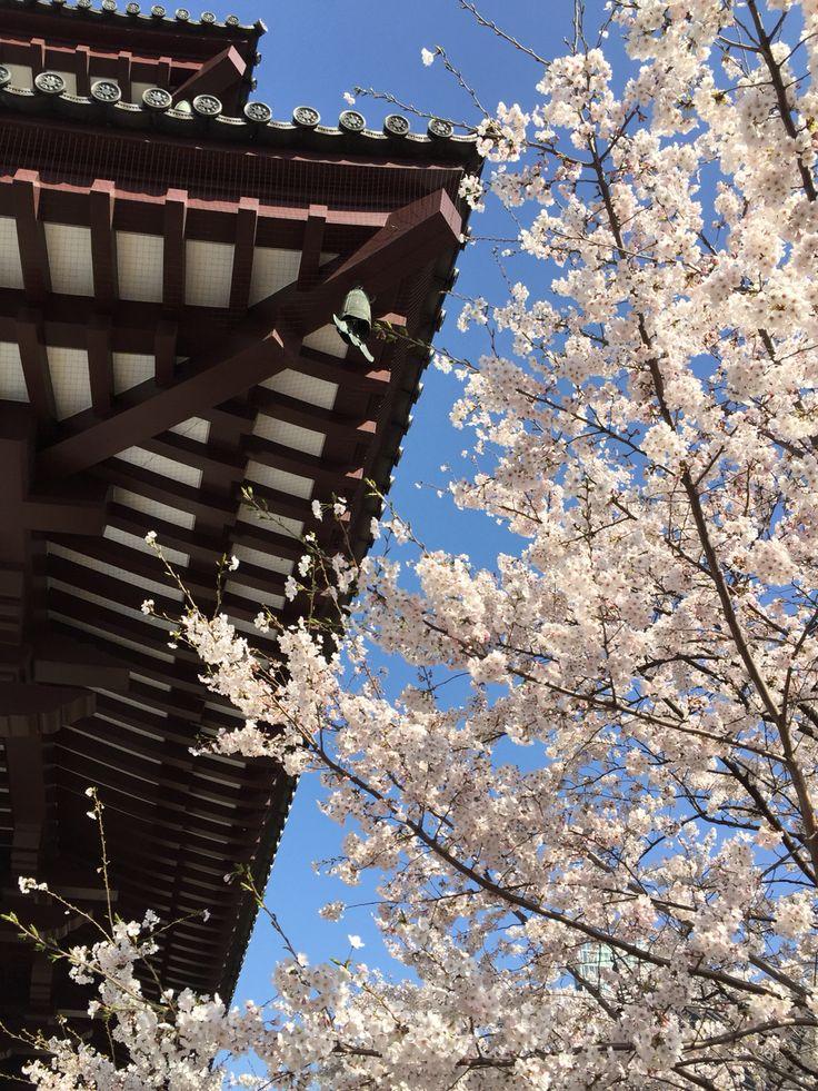 増上寺の桜。