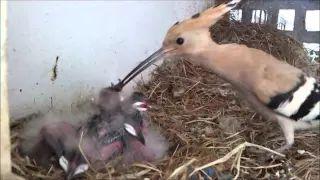 Hoopoe Nest (HD) V1 - Part 1 of 2 - YouTube
