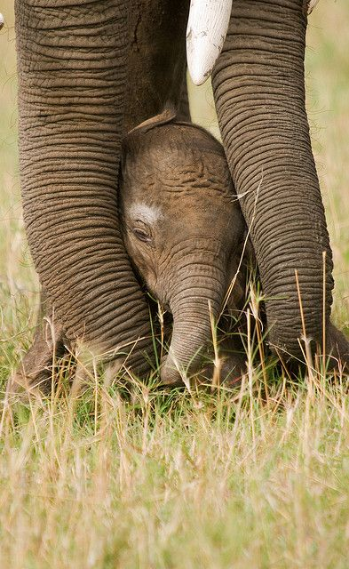Less than 1 day old baby elephant protected by her mother, Masi Mara, Africa